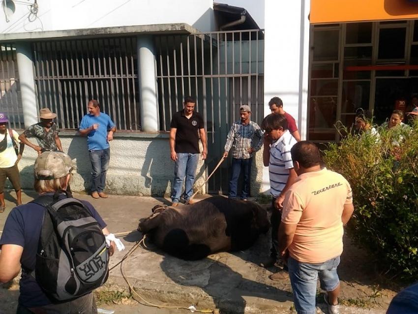 Na manha deste sábado, 21,  3 búfalos invadiram o centro de Pedro Leopoldo